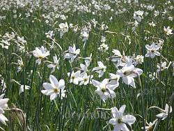Долина Нарцисів. Килим із квітів