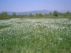 "Урочище ""Долина Нарцисів"" поблизу Хуста"