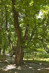 Парк садиби Лопухіних. Каштан Тараса Шевченка