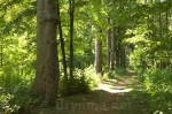 Корсунь. Ялинова алея у парку Лопухіних