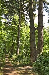 Парк Лопухіних. Князівська алея з вікових ялин