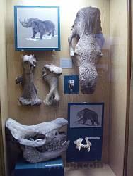 Кости пещерного носорога и медведя