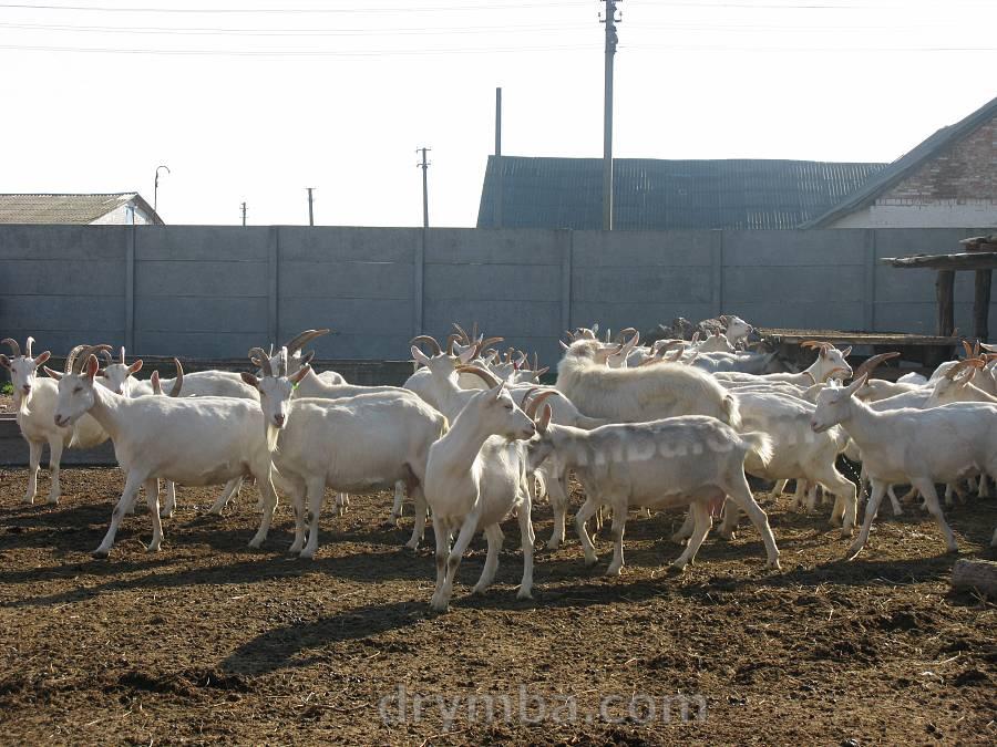 Козине стадо