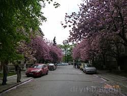 Масове цвітіння сакур в Ужгороді