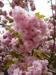 Цвіт сакури