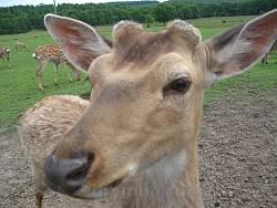 Екскурсія на оленячу ферму