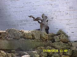 Гвинторогий козел