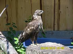 Невеликий орел