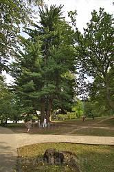 Парк санаторію Карпати. Старі сосни