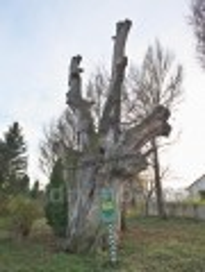 Раевский ландшафтный парк. Ствол 850-летнего дуба Б.Хмельницкого