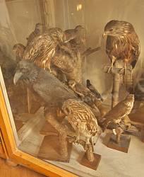 Львівський природознавчий музей. Хижі птахи