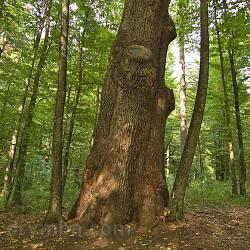 600-літній дуб у парку Шенборнів