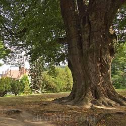 Парк санаторію Карпати. Вікова липа