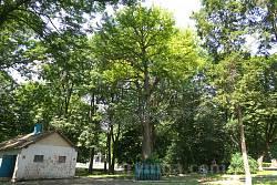 Парк Бадені. Дерево Гінкго