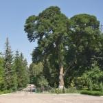 Коропець. Садибний парк графа Бадені. Старий ясен