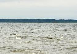 Лебеді на озері Пулемець