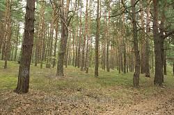 Сосновий ліс Шацького поозер'я