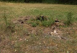 Колишній ясен-велетень у парку садиби Дунін-Борковських