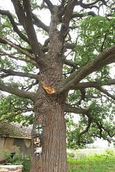 Дерево в хорошем состоянии, однако небольшие повреждения ветвей присутствуют