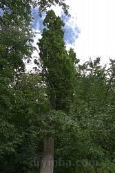 Дуб колоннообразный на территории поместья Краснопольских