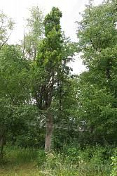 Колоннообразный дуб в старом барском парке