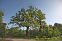 600-літній дуб у Брахівці ріс поруч, справа по фото