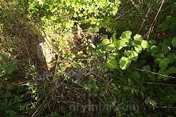 Пень 600-літнього дуба, село Бhfхівка