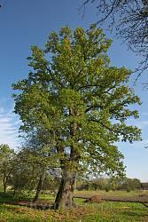 Найкраще збережений 500-літній дуб у селі